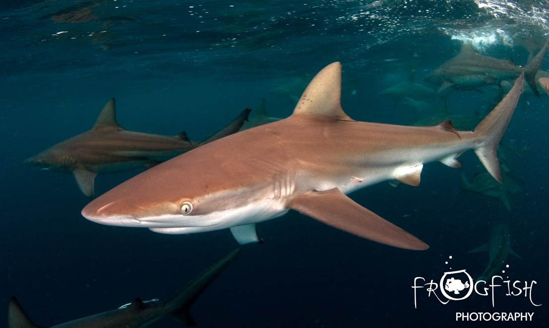 International shark conservation dive event in micronesia - Padi dive sites ...