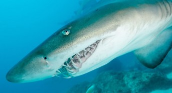 Grey-Nurse-shark8-d2046-©-Malcolm-Nobbs.jpg